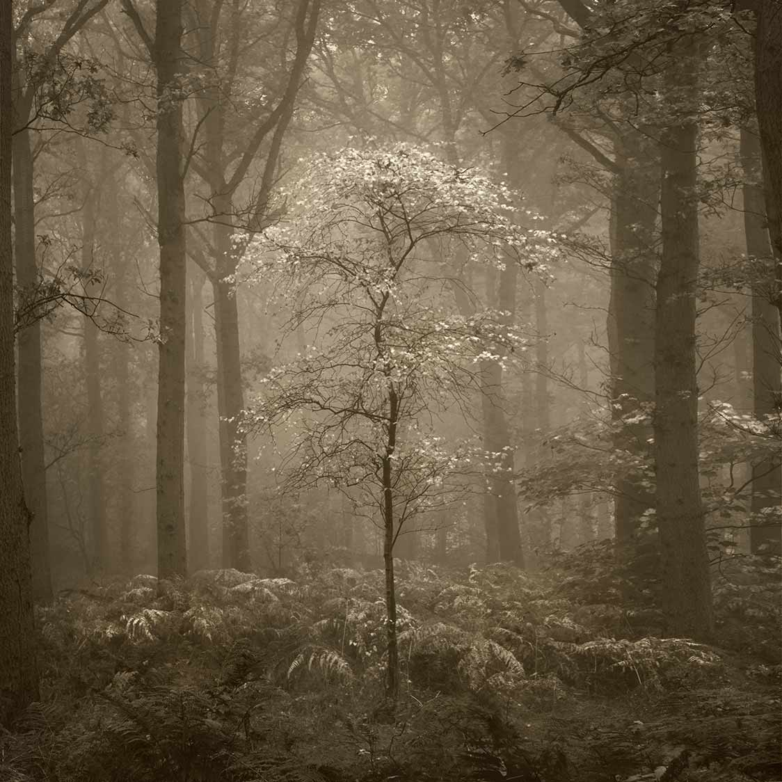 FOG AND FOREST - Swinsty, Yorkshire